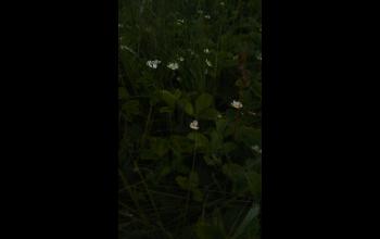 А клубника цветет! Много ягод будет!